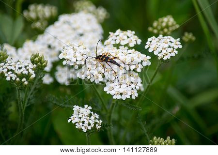 Insect Strangalia attenuata (synonym Leptura attenuate) close-up on yarrow flowers. Selective focus shallow depth of field
