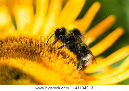 A close up Bumble Bee feeds on the nectar of a bright yellow flower