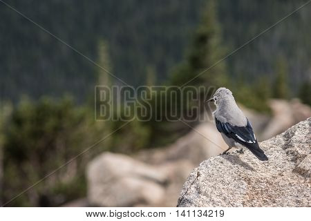 A clark's nutcracker bird in the Rocky Mountains in Colorado with pine trees in the background
