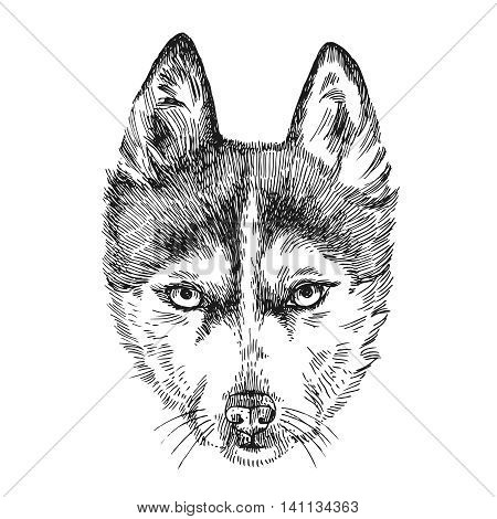 Beautiful hand drawn vector illustration sketching of husky. Sketch style drawing. Use for postcards, print for t-shirts, posters, tattoo.