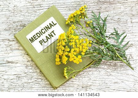 Medicinal plant tansy (Tanacetum vulgare) and herbalist handbook on old wooden table. It is used in herbal medicine pharmaceutical food and chemical industry