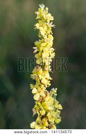Mullein (Verbascum) in a natural environment of growth. Plant is highly valued in herbal medicine it is used in the form of infusions decoctions ointments oils. Selective focus shallow DOF