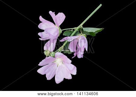 Medicinal plant Malva moschata (musk mallow or musk-mallow) on a black background isolated on a black background. Mallow is used in herbal medicine and medical cosmetology