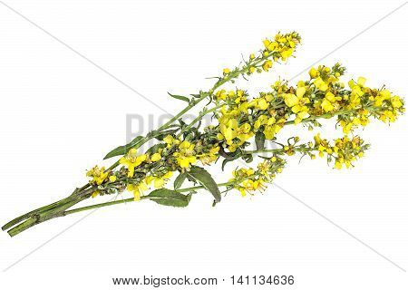 Mullein also known as velvet plant (Verbascum) isolated on white background. The plant is highly valued in herbal medicine it is used in the form of infusions decoctions ointments oils