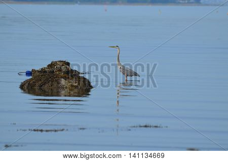 Great blue heron wading in Casco Bay Maine.