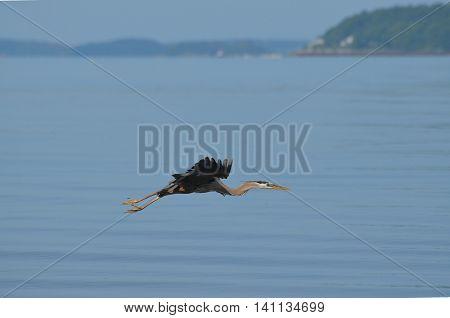 Amazing great blue heron in flight over the ocean.