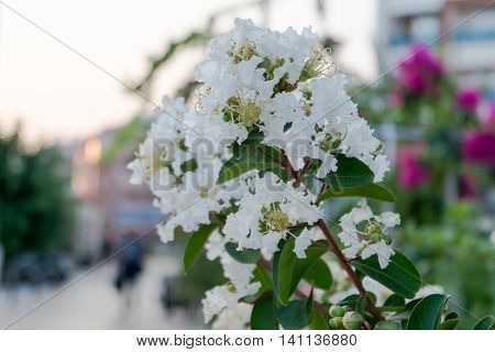 Cherry blossoms Judas tree in Turkey white flowers.
