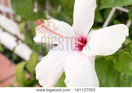 Hibiscus flower. white hibiscus flower. Blossoming ehite flower of Hibiscus
