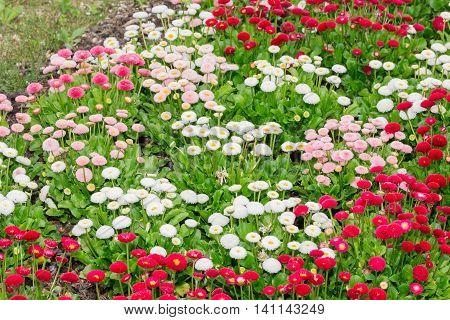 Beautiful Marguerite Daisy Flower Blooming In Garden.