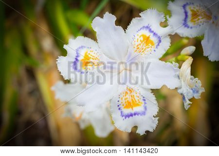 White Fringed Iris Blooming In The Garden (iris Japonica)