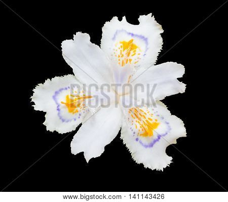 White Fringed Iris Blooming (iris Japonica) Isolated On Black