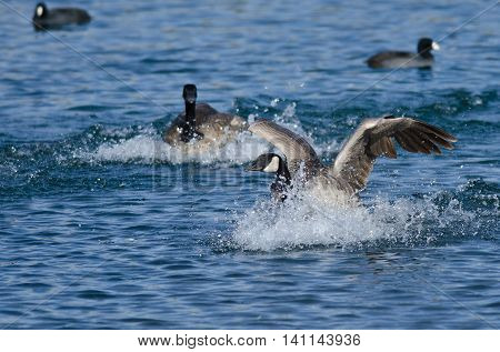 Canada Goose Landing in the Blue Water