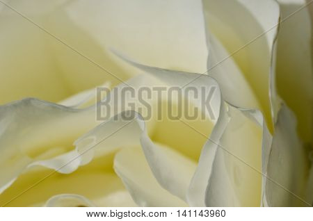 Nature Abstract: Lost in the Gentle Folds of the Delicate White Rose