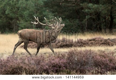 Red deer during the rutting period in the high veluwe