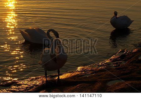 Swans at sunset. Swinoujscie, Poland - August 13, 2009 Three swans in the light of the setting sun with a breakwater in Swinoujscie.