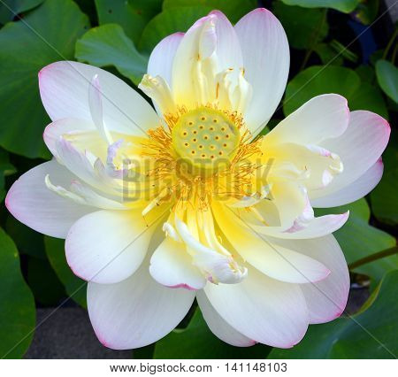 Lotus flower, Nelumbo nucifera, known by a number of names including Indian Lotus, Sacred Lotus, Bean of India, or simply Lotus, is a plant in the monotypic family Nelumbonaceae.