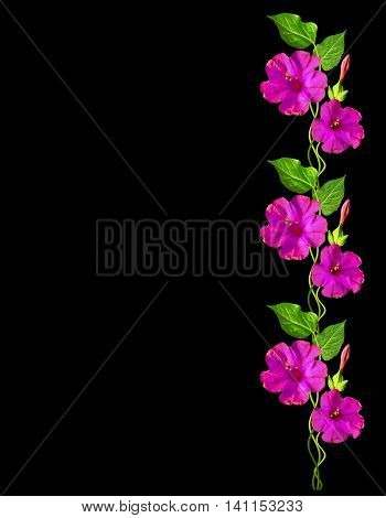 Autumn beautiful colorful morning glory flowers isolated on black background