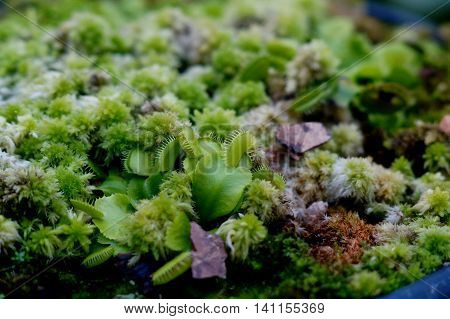Green fly trap plant among other plants