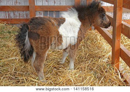 Newborn Pony Foal in Pen at Farm