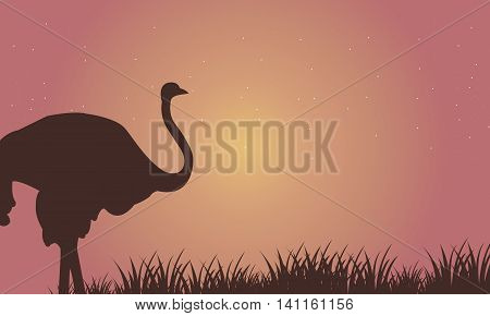 Silhouette of Single Ostrich at the afternoon