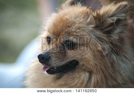 Female pomeranian german spitz dog head closeup