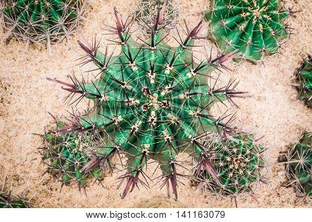 There are blackjack little diamond around big cactus.