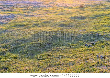 Young, fresh and juicy spring grass in the sunset