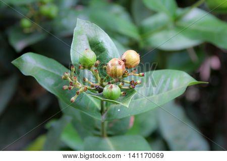 Seed Of Ixora Flowers
