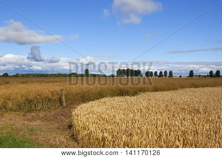 Yorkshire Wheat And Canola