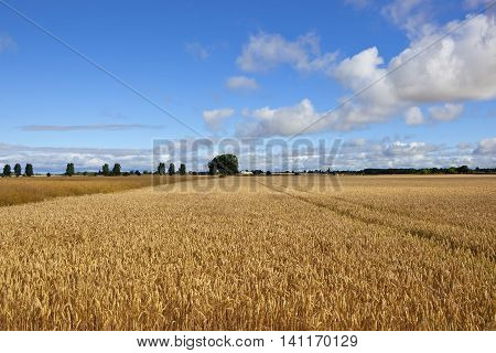 Golden Wheat And Canola Crops