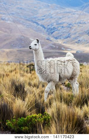 beautiful lama in a pasture in the mountains