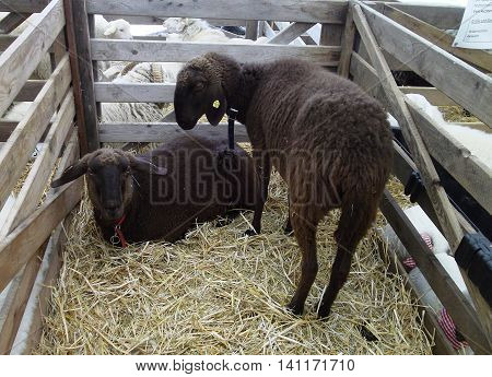 Black sheep and ewe in pen at farm