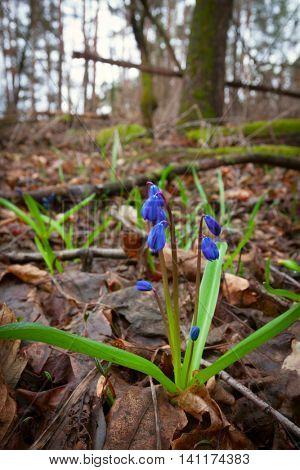 scilla bifolia wild flowers in spring forest