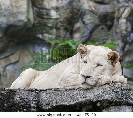 full body white lion lying on rock clif
