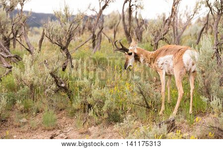 Adult Pronghorn Grazing in Pasture Wild Animal Yellowstone