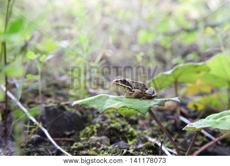 Little forest frog sits on a leaf of coltsfoot. She is very proud and brown. Forest