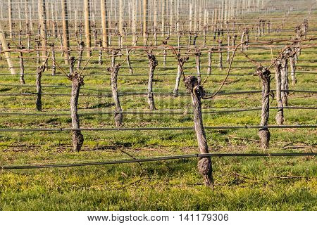 pruned grapevine trunks in vineyard at early spring