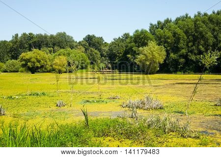 Landscape of a swamp covered with plants, leaves and wild flowers. Photo is taken in Kovilj, Serbia