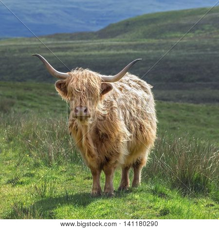 Highlander Cow Among Green Mountainous Pastures at Bright Day