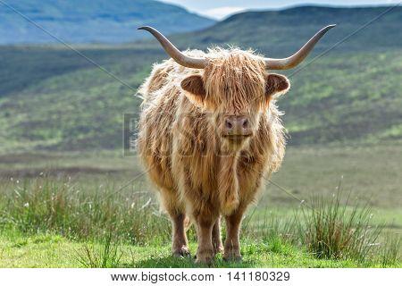 Highlander Horned Cattle on Green Pasture Close Up Frame
