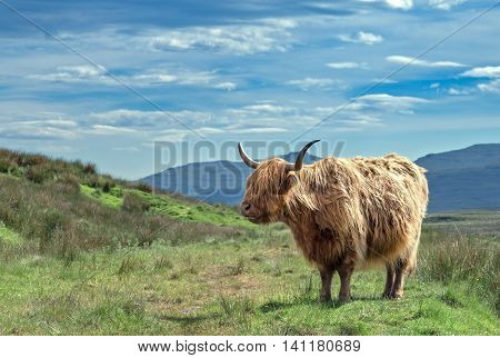 Highlands Hairy Cattle on Green Scottish Landscape