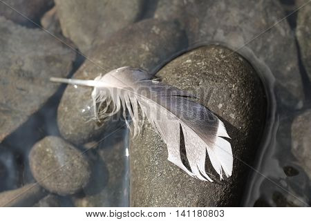 close photo of a lost feather stuck on the pebble in low-key colors