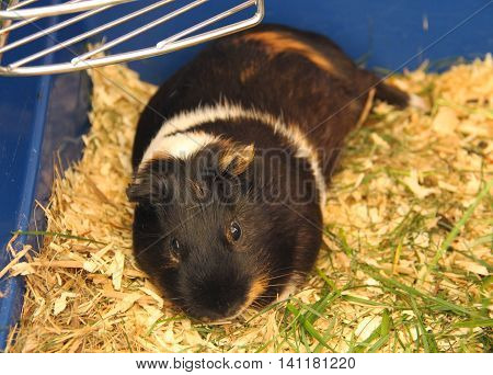 black guinea pig with white and brown spots having rest in its cage