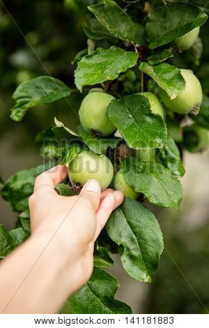 Immature Apples Are Examined