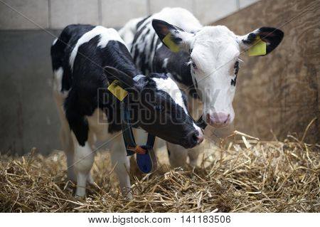 two black and white calfs stand close together in straw of barn