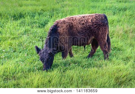 Closeup of a black brown Galloway bull quietly grazing on the of a Dutch dike with fresh green grass and clover.