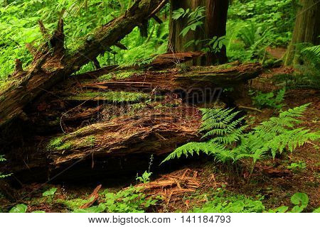 a picture of an exterior Pacific Northwest forest with a decaying cedar tree log
