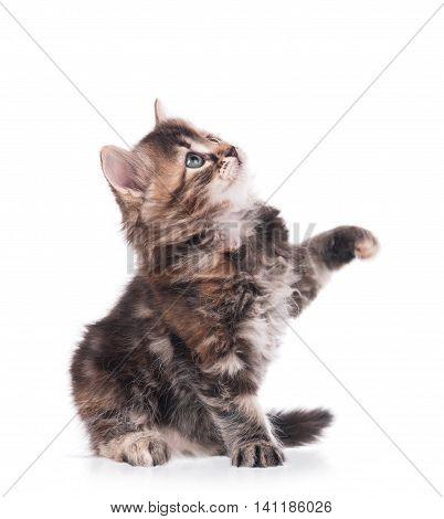 The curious little siberian kitten over white background