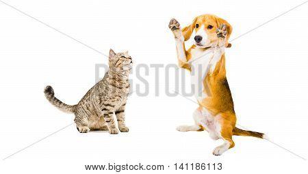 Cat Scottish Straight and playful Beagle dog isolated on white background