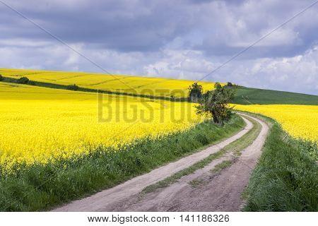 Rape field - Poland. Spring sunny day.